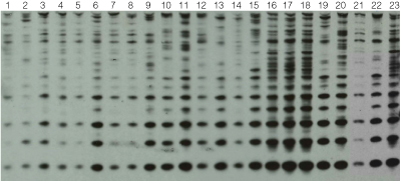Southern Blot analysis for the presence of the Rsp repetitive element.